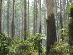 Yarra Ranges Sherbrooke_Forest_Dandenong_Ranges